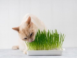 Cat is eating fresh green grass. Cat grass, pet grass. Natural hairball treatment, white, red pet cat eating fresh grass, green oats, emotionally, copy space, the concept of the health of Pets,