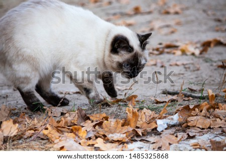 cat is looking at the leaves. Cat's eyes. Russian cat on the street. Stock fotó ©