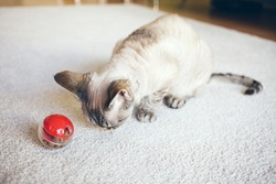 Cat is sitting on the carpet and is playing with slow food toy - red color ball dispenser that slowly feeds the kitty and satisfys cat's inherent need to hunt. Selective focus natural light photo