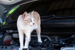 Cat is standing on the car engine room.Protect a Car from Rats and Mice