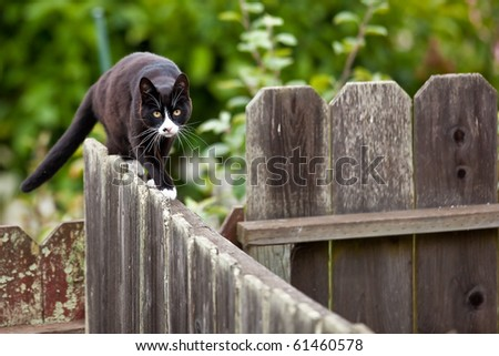Cat is walking on a fence. Neighbors? cat is staring at photographer. - stock photo