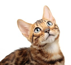 Cat isolated on white background. Bengal kitten