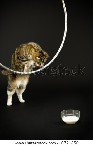 Cat jumping through a hula hoop for milk