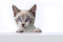 Cat kitten hanging over white blank poster or board