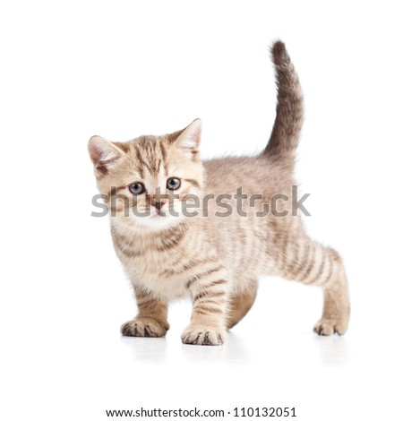 cat kitten on white background