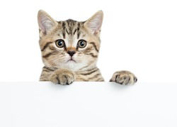 Cat kitten peeking out of a blank sign, isolated on white background