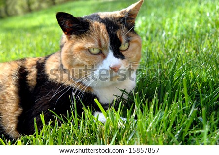 Cat lays on grassy lawn.  His ears are perked in irritation.  Calico cat in rust, black and white.