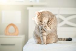 Cat licking paw. Scottish straight cat