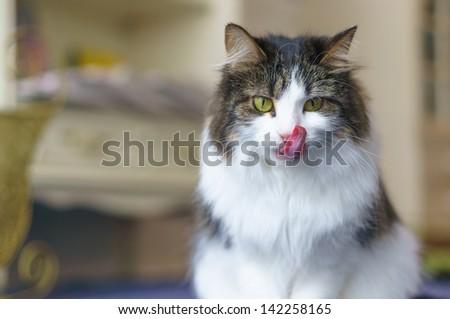 cat licks her lips .Maine Coon