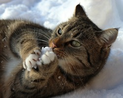 cat lies in the snow and bites into a lump of frozen snow