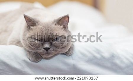 Cat lies on a bed and looking with interest, indoors shot