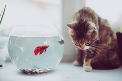 Cat looking at a fish in an aquarium on the window. Cat with  tongue  outside. Cat watching the fish. Cat want to catch fish. Vintage, Rustic style.