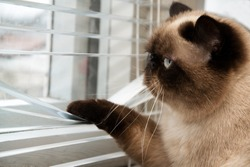 Cat looking outside through window blinds