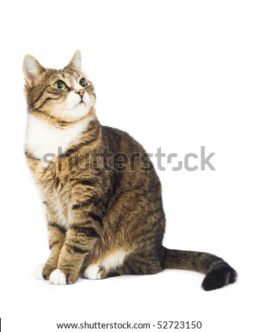 Cat looking up. Copy space. Isolated
