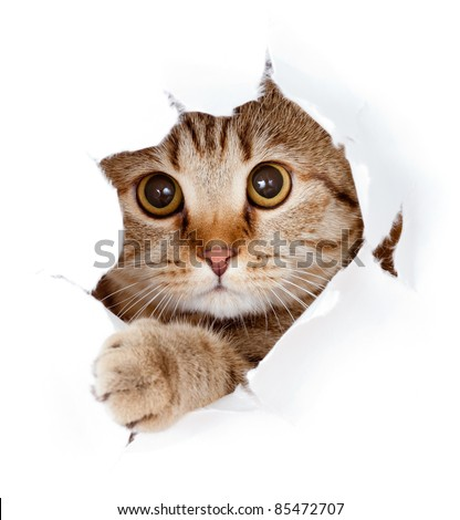 cat looking up in paper side torn hole isolated #85472707