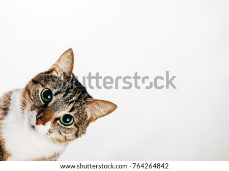cat looks out, cat on white background peeks around corner