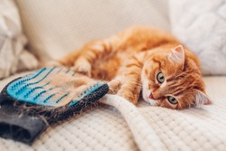 Cat lying by brushing glove with fur. Removing pets hair. Taking care of animal combing with hand rubber glove at home