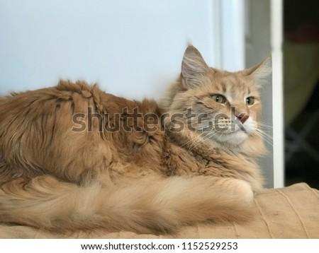 cat maine coon #1152529253