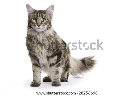 Cat, Maine Coon
