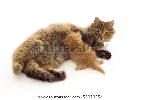 cat mother feeds red kitten isolated on white background