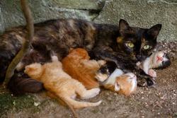 Cat nursing kittens. Feral cat feeding kittens. The protection of animals. Homeless animals.