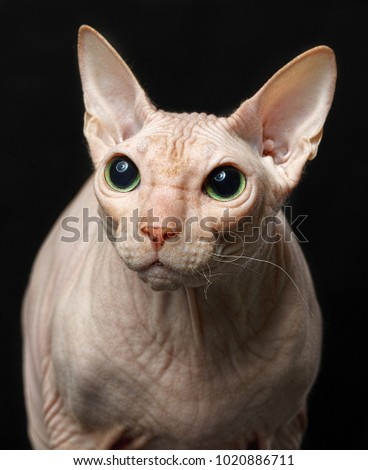 Cat of breed Sphynx Isolated on Black