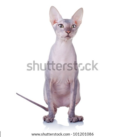 Cat of Don Sphynx breed isolated on white background