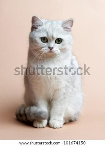 Cat of the British breed. Rare coloring - a silvery chinchilla