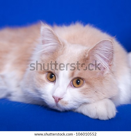 cat on a blay background