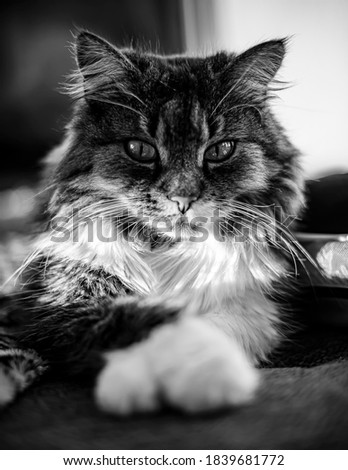 Cat on couch chillen black and white Stockfoto ©