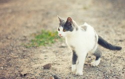 Cat on hunting in the grass. The cat just before the attack.a cat on the hunt. animal attack . spotted cat . animal in the grass