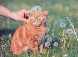 Cat on nature outdoors. Funny ginger kitten walking in the grass with dandelions in summer on a sunny day