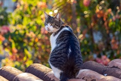 Cat on the roof at sunrise. A gray and white spotted  male cat watching the movement in the street. Animal World. Animal life. Pet lover. Cat lover. American wirehair.
