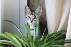 cat on the white window with grass in a pot. Kitten play and surprise eating Smelling home plants. Veterinary Concept of damage from pets.