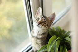 cat on the white window with grass in a pot. Kitten smile and surprise smelling home plants. Veterinary Concept of damage from pets.