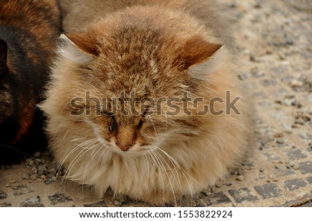 "Cat, or domestic cat - domestic pet, one of the most popular (along with dog) ""animals-companions."" #1553822924"