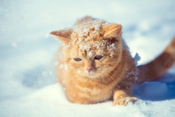 Cat outdoors. Ginger cat sneaks in the deep snow at snowfall in winter