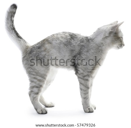 Cat over white background