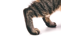 Cat Paws, Legs, Grey Tabby Cat. Short Hair. Isolated on White Background. Close up Selective Shot.