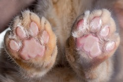 Cat paws with claws and pads bottom view Zoology research concept selective focus.