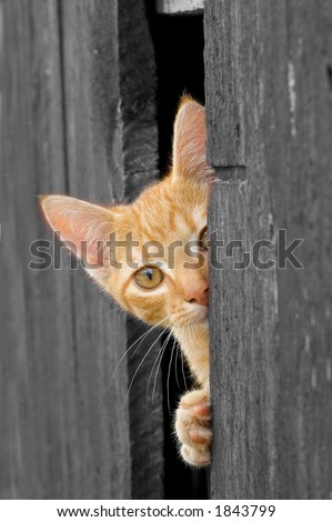 Cat peeking from Barn Door (B&W with cat in color) - stock photo