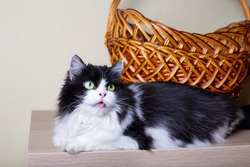 Cat Persian breed on the background of the basket. Black and white color, green eyes. Metis. Close-up.