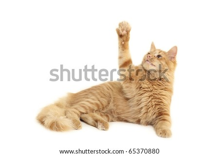 cat playful isolated on white background