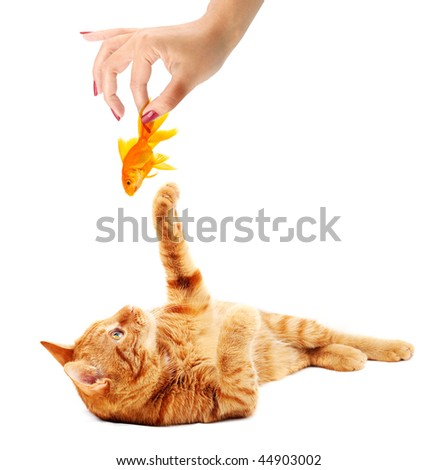 Cat playing with goldfish isolated on white background