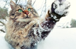 Cat playing with snow. Cat walking outdoors in snow in winter