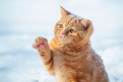Cat playing with snow. Little ginger kitten with paw in the air. Playful cat walking outdoors in snow in winter