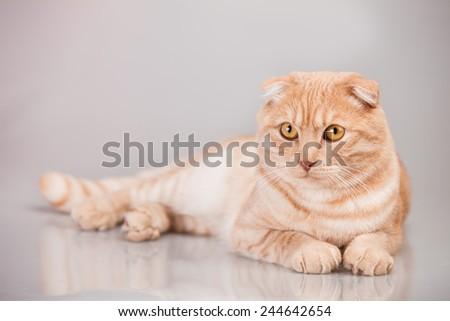 Cat portrait british, sweet, kitty, pet, fun,