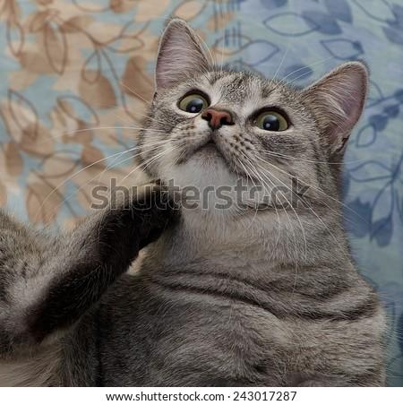 Cat portrait close up, curious cat, domestic cat, scratching cat only head close up, scratching cat