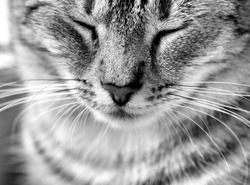 Cat portrait close up in black and white photo. Cat face
