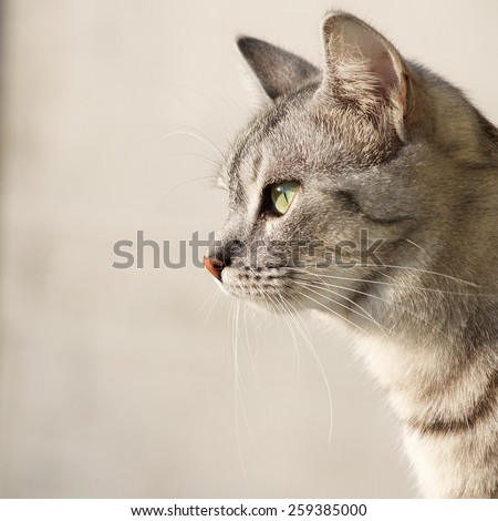 Cat portrait close up, only head crop, looking curious, cat in light background and space for advertising and text, cat head, square photo